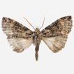 Description of a new Hiroshia species ...