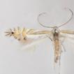 Phyllocnistis furcata sp. nov.: a new ...