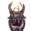 First discovery of the genus Himalopenetretus ...