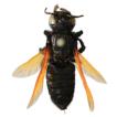 Resin bees of genus Megachile, subgenera ...