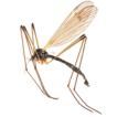 Synopsis of the genus Ulomorpha Osten ...