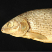 Neotype designation for Thymallus aeliani ...
