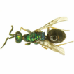 First checklist of the chrysidid wasps ...