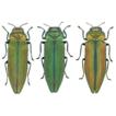 A new species of Coomaniella (Coleoptera, ...
