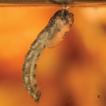 Records of Parochlus steinenii in the ...