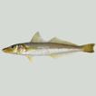 Description of a new species, Sillago ...