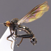 Four new West Palaearctic species and ...