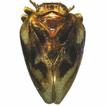 A new species of the genus Euxaldar Fennah, ...