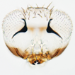 Two new species of Paraphytis (Hymenoptera, ...