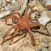 Revision of the spider family Zodariidae ...