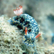 New records of nudibranchs and a cephalaspid ...