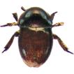 The subfamily Thorictinae (Coleoptera, ...