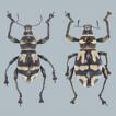 Two new species of the genus Metapocyrtus ...