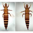 Studies on the genus Psephenothrips Reyes ...