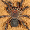 A new species of Liphistius from Myanmar ...