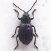Belarima violacea (Lucas, 1847) (Coleoptera, ...