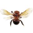 The resin bee subgenus Ranthidiellum ...