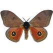 Description of three new species of Automeris ...