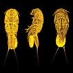 Tigriopus iranicus sp. nov., a new species ...