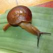 Land snails and slugs of Bau limestone ...