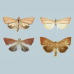 Revision and phylogeny of the genus Loxoneptera ...