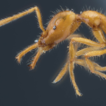 A new species group of Strumigenys (Hymenoptera, ...