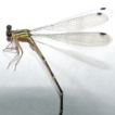 Two new species of Archaeopodagrion (Odonata, ...