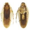Species delimitation of Margattea cockroaches ...