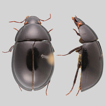 The Acidocerinae (Coleoptera, Hydrophilidae): ...