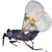 A new species of Asecodes Förster (Hymenoptera,  ...