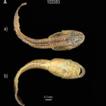 Morphological and molecular data on tadpoles ...