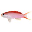 Pseudanthias hangapiko, a new anthiadine ...
