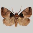 Two new species of the genus Pseudidonauton ...