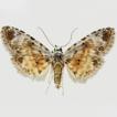 Three new species of the genus Araeopteron ...