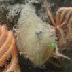 Rossellid glass sponges (Porifera, Hexactinellida) ...
