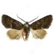Bombyciella linzhiensis, a new species ...