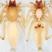 On the clubionid spiders (Araneae, Clubionidae) ...