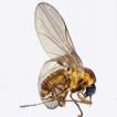 Revision of the genus Niphta (Diptera, ...
