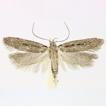 Gelechia omelkoi sp. nov. – a new species f ...