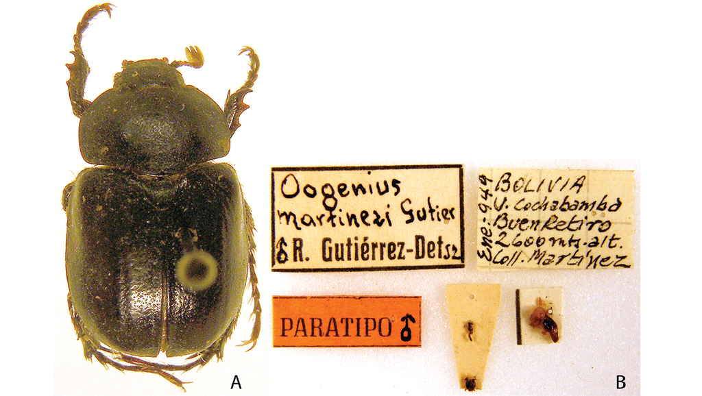 Hyper Castrating Female Insects New >> Synopsis Of The Pelidnotine Scarabs Coleoptera Scarabaeidae