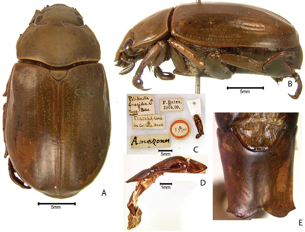 Synopsis of the pelidnotine scarabs (Coleoptera