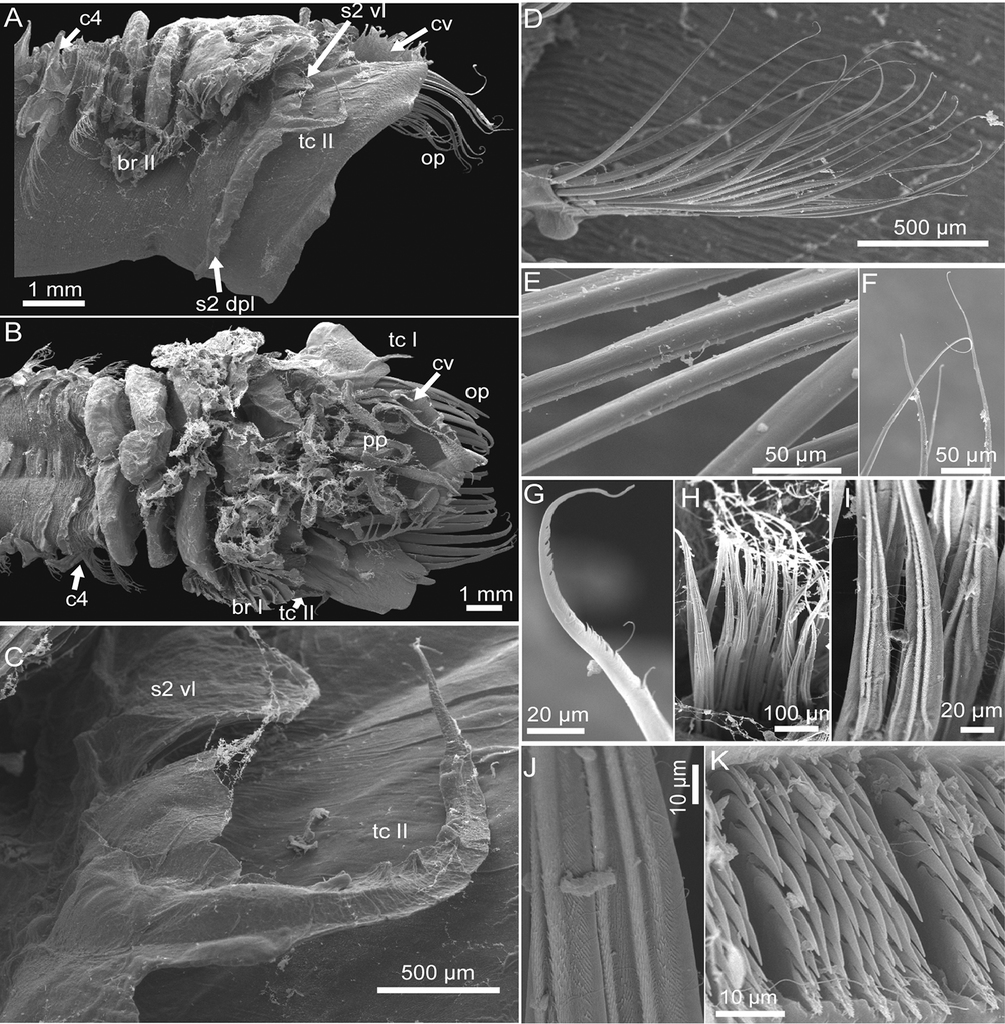 A New Species Of Pectinaria Annelida Pectinariidae With A Key To