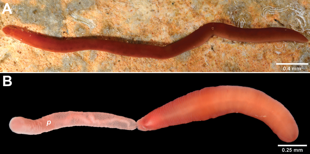 a96f50a74f8e Nipponnemertes incainca sp. n. Adoption of the new taxonomic ...