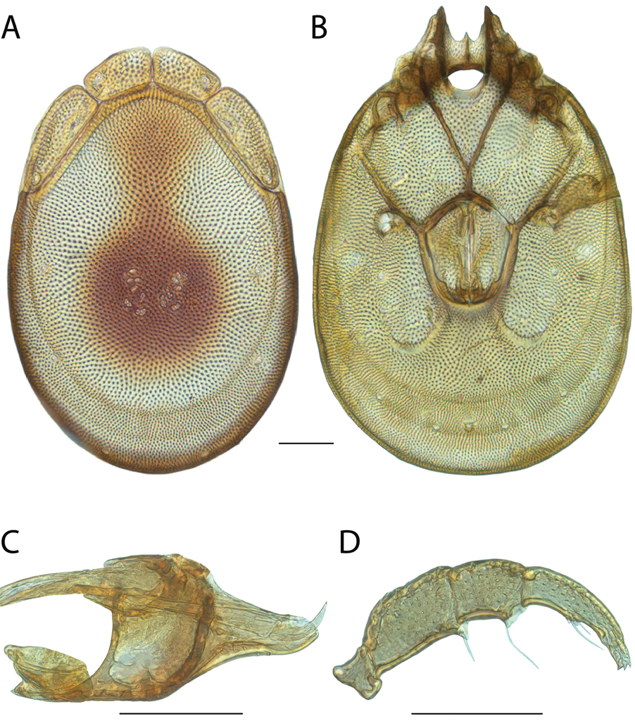 Revision of torrent mites (Parasitengona, Torrenticolidae