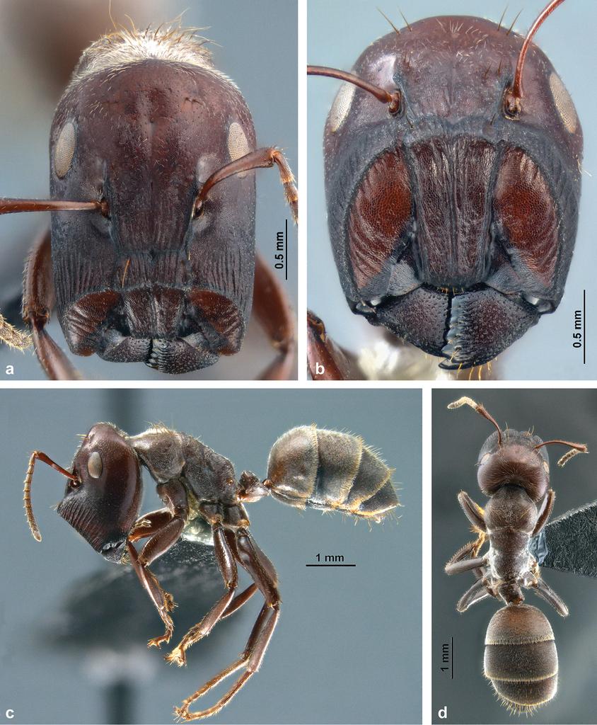 "Colobopsis explodens sp. n., model species for studies on ""exploding ..."