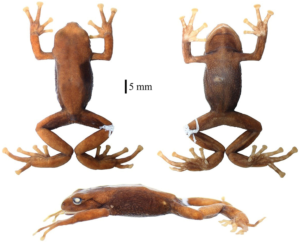 A new species of Pristimantis (Anura, Craugastoridae) from the Cajas