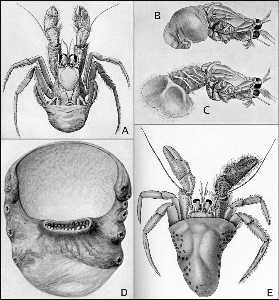 """A revision of """"blanket-hermit crabs"""" of the genus Paguropsis ..."""