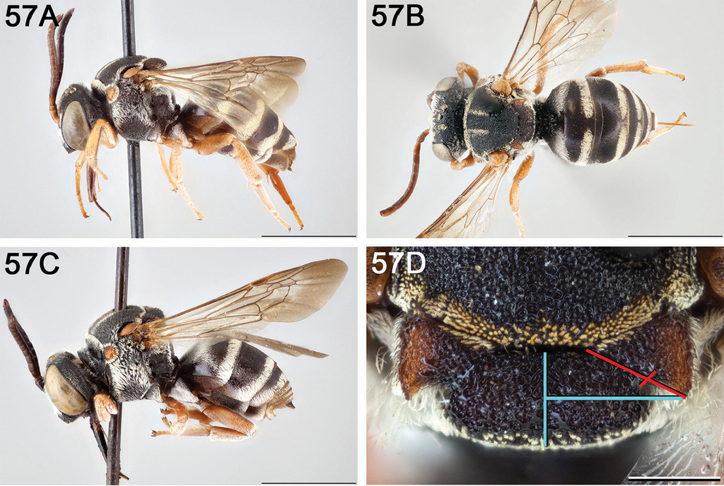 A revision of the cleptoparasitic bee genus Epeolus