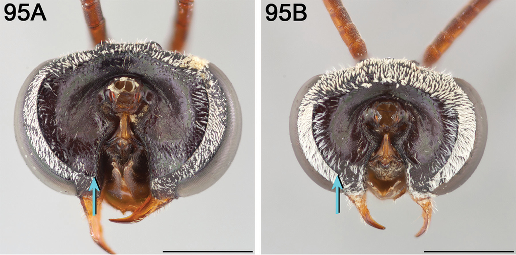 A revision of the cleptoparasitic bee genus Epeolus Latreille for