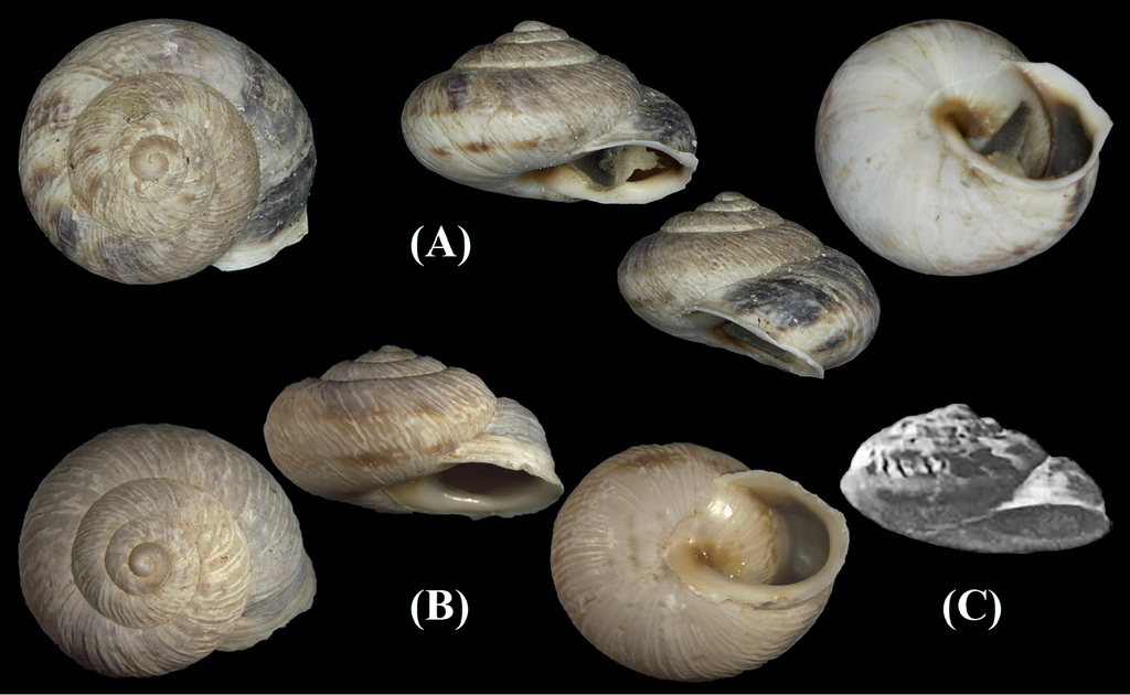 New Records Of The Endemic Sicilian Land Snail Species Marmorana